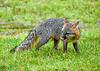 "<div class=""jaDesc""> <h4>Female Gray Fox Licking Lips - June 16, 2019</h4> <p>She seemed to be enjoying the bird seed mix.</p> </div>"