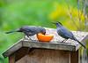 "<div class=""jaDesc""> <h4>Male Catbird Eating Grape Jelly - May 6, 2020</h4> <p></p></div>"