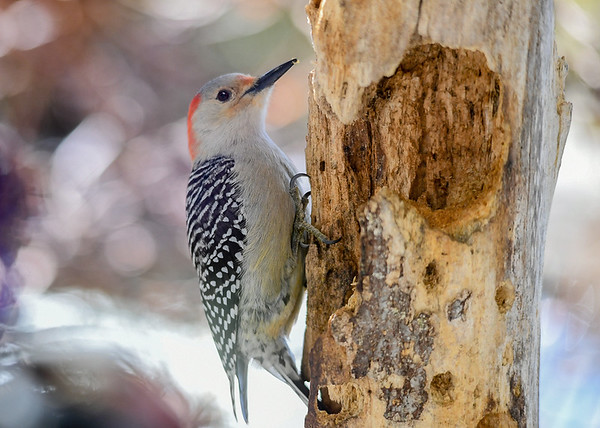 "<div class=""jaDesc""> <h4>Female Red-bellied Woodpecker on Suet Log - March 22, 2020</h4> <p></p> </div>"