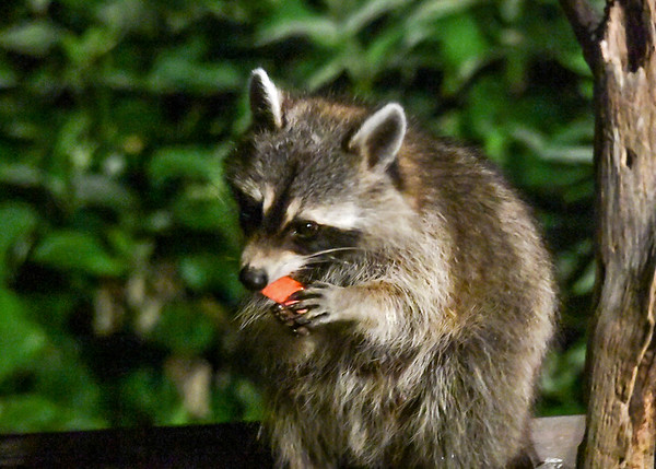 "<div class=""jaDesc""> <h4>Raccoon Bites Apple Piece - July 12, 2017</h4> <p></p> </div>"