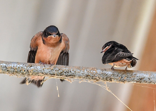 """<div class=""""jaDesc""""> <h4>Serious Looking Baby Barn Swallow - August 16, 2018 </h4> <p></p> </div>"""