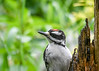"<div class=""jaDesc""> <h4>Juvenile Hairy Woodpecker Close-up - June 15, 2017</h4> <p></p></div>"