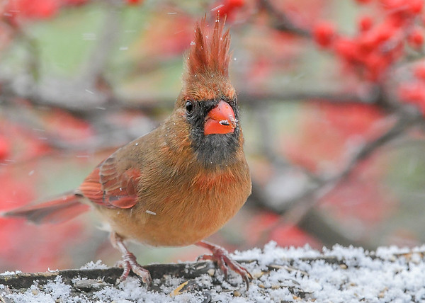 "<div class=""jaDesc""> <h4>Female Cardinal with Blowing Crest #2 - December 16, 2020</h4> <p>The blowing snow shifted to directly behind her crest.</p> </div>"