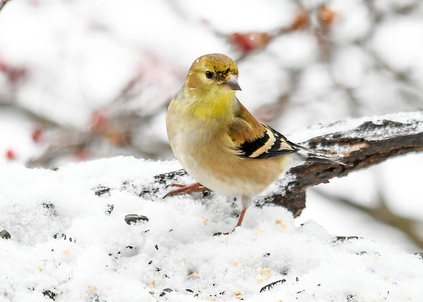 """<div class=""""jaDesc""""> <h4>Male Goldfinch Looking for Seed - January 18, 2020</h4> <p></p></div>"""