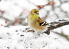 "<div class=""jaDesc""> <h4>Male Goldfinch Looking for Seed - January 18, 2020</h4> <p></p></div>"