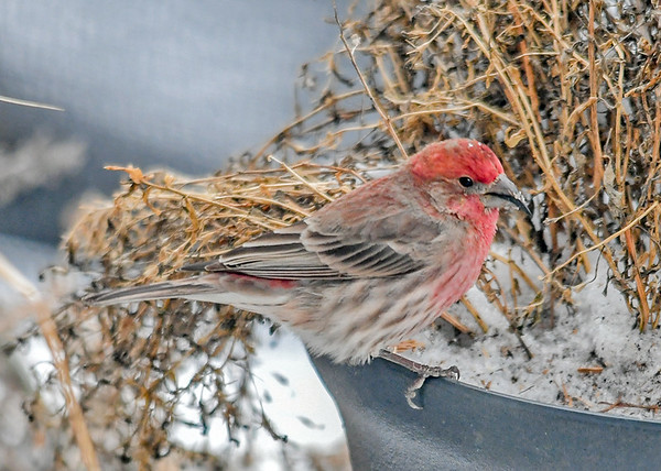 """<div class=""""jaDesc""""> <h4>Male House Finch in Flower Pot  - January 18 2020</h4> <p>I sprinkle seed in the flower pots on our back porch for winter feeding.</p> </div>"""