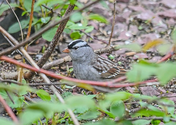 """<div class=""""jaDesc""""> <h4>White-Crowned Sparrow Under Bush - May 4, 2019</h4> <p>These guys are constantly moving around quickly underneath the bushes.</p></div>"""