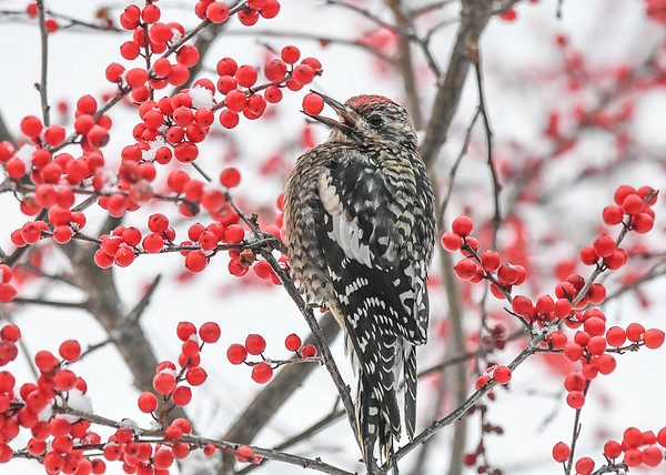 """<div class=""""jaDesc""""> <h4> Immature Female Yellow-bellied Sapsucker with Winterberry - Dec 20, 2020  </h4> <p> She has her pick of thousands on our four bushes. </p> </div>"""