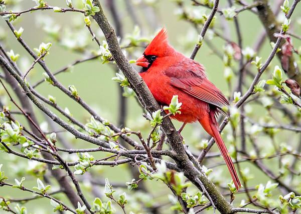 "<div class=""jaDesc""> <h4>Male Cardinal Crest Up - May 4, 2020</h4> <p></p> </div>"