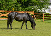 """<div class=""""jaDesc""""> <h4>Love Grazing in Paddock - June 3, 2017</h4> <p>Love is now in her own nice paddock with her one week old foal.</p> </div>"""