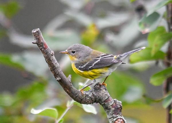 "<div class=""jaDesc""> <h4> Female Magnolia Warbler - Left Side View - September 14, 2019 </h4> <p>Note the subtle eye ring and dark streaks on her sides.</p></div>"