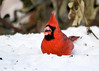 "<div class=""jaDesc""> <h4>Male Cardinal Finds Seed - December 14, 2017</h4> <p>Once he found a sunflower seed in the snow, the male Cardinal was showing it off to me.</p> </div>"