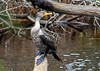 """<div class=""""jaDesc""""> <h4> Cormorant Scanning Behind - November 13, 2018</h4> <p>He periodically looked behind to check out what was around.  Chincoteague, VA</p> </div>"""