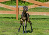 "<div class=""jaDesc""> <h4>Tiger Peeing with Pizzazz - June 3, 2017</h4> <p>Love had finished peeing in the paddock.  Tiger trotted over to sniff the spot and then proceeded to pee on top of his Mom's pee.  Feisty little guy.</p> </div>"