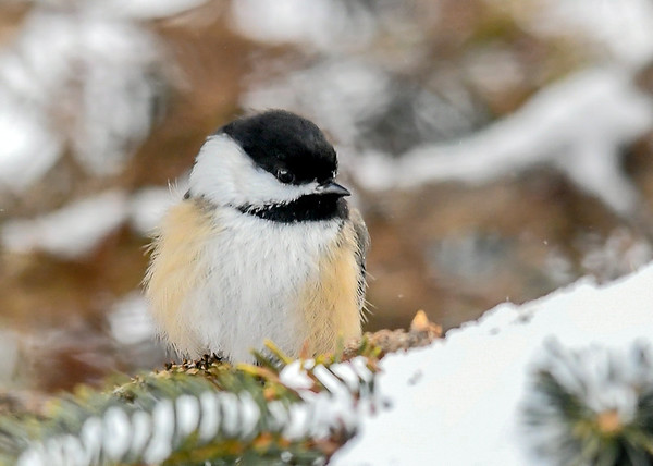 """<div class=""""jaDesc""""> <h4>Chickadee Resting - January 7, 2019</h4> <p>After enjoying eating a seed, he needed a short rest.</p> </div>"""