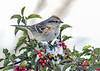 "<div class=""jaDesc""> <h4>Tree Sparrow on Holly Perch - January 30, 2021</h4> <p></p> </div>"