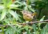 "<div class=""jaDesc""> <h4>Juvenile Female Common Yellowthroat on Alert - August 7, 2019</h4> <p>Roy Park Preserve, Slaterville Springs, NY</p></div>"