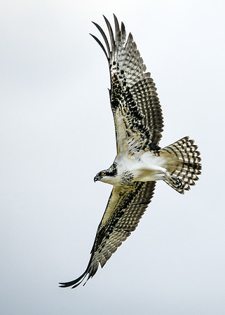 "<div class=""jaDesc""> <h4>Osprey Continue Gliding Turn - August 8, 2019 </h4> <p></p> </div>"
