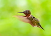 """<div class=""""jaDesc""""> <h4>Juvenile Male Hummingbird Hovering - August 21, 2018 </h4> <p>This juvenile Male Ruby-throated Hummingbird has been giving me fits trying to get a photo of him.  Finally figured out a way today.  He and his Dad are hanging around all day sipping nectar from the trumpet vines and hostas.  He has his sipper sticking out a bit in this photo.</p> </div>"""