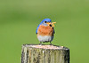 "<div class=""jaDesc""> <h4>Male Bluebird Beak Full of Mealworms - May 19, 2020</h4> <p>He's showing the female that he will take good care of feeding the babies.</p> </div>"