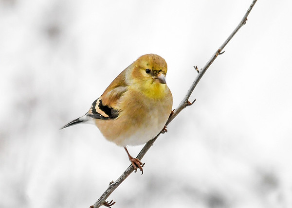 """<div class=""""jaDesc""""> <h4>Male Goldfinch - Bit of Yellow on Chin - January 18, 2020</h4> <p>Just starting to molt. </p></div>"""