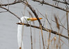 """<div class=""""jaDesc""""> <h4>Great Egret Close-up - November 13, 2018</h4> <p>This Great Egret in a different location was moving along bushes at edge of water.  That beak is quite a spear.  Chincoteague Wildlife Preserve, VA.</p> </div>"""