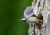 """<div class=""""jaDesc""""> <h4>Chickadee Take-off from Nest Hole - June 3, 2018 </h4> <p>The nest is in a very soft totally rotten section of a tree I brought down from the woods.  I propped it against a fence intending to use it as a suet log.  The Chickadees had other plans for it.</p> </div>"""