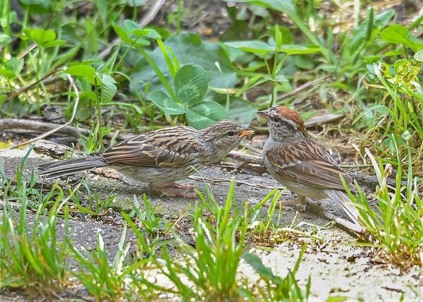 "<div class=""jaDesc""> <h4>Juvenile Chipping Sparrow Following Adult - August 27, 2018</h4> <p></p> </div>"