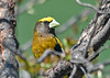 """<div class=""""jaDesc""""> <h4>Male Evening Grosbeak in Cherry Tree - April 23, 2019</h4> <p>He posed so nicely for me.</p></div>"""