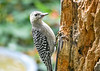 "<div class=""jaDesc""> <h4>Immature Red-bellied Woodpecker Ready to Eat on Her Own - September 15, 2019</h4> <p></p> </div>"