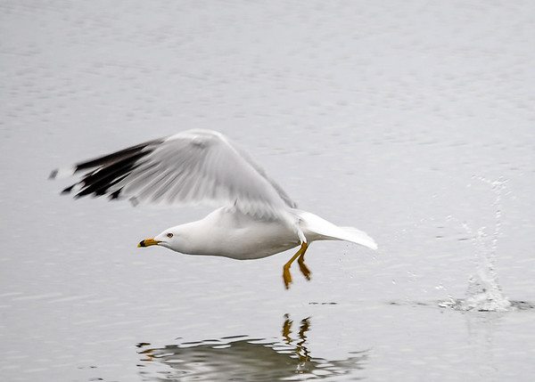 "<div class=""jaDesc""> <h4>Ring-billed Gull Takeoff - March 30, 2017 </h4> <p>Another Ring-billed Gull decided it would be fun to do a low pass over the relaxing gull.  In one flap of the wings, the gull burst forward out of the water.</p></div>"