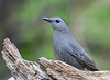 "<div class=""jaDesc""> <h4>Catbird Posing Nicely - May 4, 2019</h4> <p></p></div>"