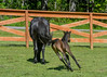 "<div class=""jaDesc""> <h4>Tiger Racing Around Mom - Video Attached - June 3, 2017</h4> <p>For a one week old foal, Tiger has amazing coordination at a full gallop.</p> </div> <center> <a href=""http://www.youtube.com/watch?v=Ixn2qRLSEk4"" style=""color: #0AC216"" class=""lightbox""><strong> Play Video</strong></a> </center>"