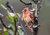 """<div class=""""jaDesc""""> <h4>Female Cardinal After Bath - June 28, 2018</h4> <p>Our birdbaths have been getting quite a workout lately.  This female Cardinal took an early morning bath before all the juvenile Starlings and Red-winged Blackbirds started descending on them.</p> </div>"""