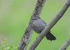 "<div class=""jaDesc""> <h4>Catbird on Tree Branch - May 4, 2019</h4> <p></p></div>"