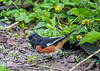 "<div class=""jaDesc""> <h4>Male Towhee Ground Feeding - May 14, 2019</h4> <p></p></div>"