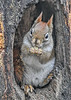 """<div class=""""jaDesc""""> <h4>Red Squirrel Relaxing with a Peanut - January 7, 2019</h4> <p></p>  </div>"""