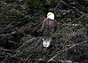 "<div class=""jaDesc""> <h4>Bald Eagle on Perch - February 5, 2017 </h4> <p>This is one of 4 adult Bald Eagles I was able to see from the Eagle blind in Forestburgh, NY just south of Monticello.  There were also 10 immature Eagles in the same area.  They hang out along a series of power dams and reservoirs.</p> </div>"
