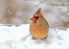 "<div class=""jaDesc""> <h4>Female Cardinal on Snow Covered Bird Bath - Jan 18, 2020</h4> <p></p> </div>"