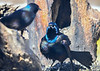 "<div class=""jaDesc""> <h4>Male Grackle Displaying - March 23, 2019</h4> <p>Gotta impress the females.</p></div>"