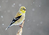 """<div class=""""jaDesc""""> <h4>Male Goldfinch Posing - February 26, 2019</h4> <p>He was very cooperative for this shot.</p></div>"""