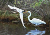 "<div class=""jaDesc""> <h4>Snowy Egret Flies by Great Egret - October 23, 2017</h4> <p>A Great Egret was all set up in her fishing spot when a Snowy Egret flew by very close to her.  Chincoteague  Wildlife Reserve, Virginia. </p> </div>"