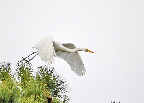 "<div class=""jaDesc""> <h4>Great Egret Airborne Wings Down - October 23, 2017</h4> <p></p> </div>"
