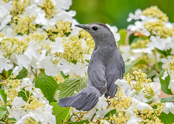 "<div class=""jaDesc""> <h4>Catbird in Viburnum - June 4, 2019</h4> <p>Favorite approach bush coming into feeder area. </p></div>"