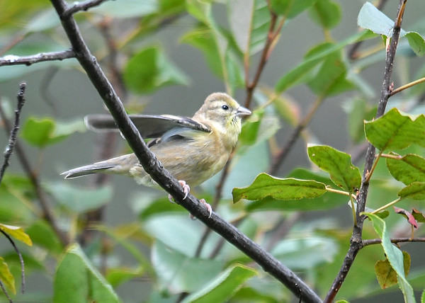 """<div class=""""jaDesc""""> <h4>Juvenile Goldfinch Fluttering Wings - September 2, 2019</h4> <p>When she started fluttering her wings, I knew she was begging to be fed.</p></div>"""