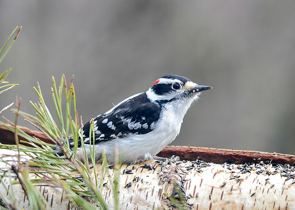 """<div class=""""jaDesc""""> <h4> Male Downy Woodpecker Eating Sunflower Chips - April 26, 2020</h4> <p>The Downy Woodpeckers eat the sunflower chips out of the finch mix and leave the thistle seed for the Goldfinches.</p> </div>"""