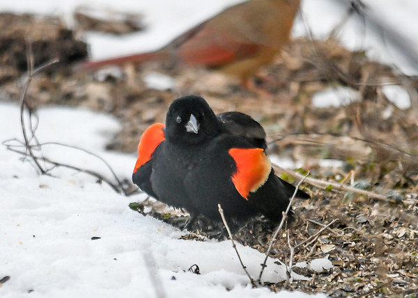 """<div class=""""jaDesc""""> <h4>Male Red-winged Blackbird Puffed - March 24, 2019</h4> <p>This male is trying to impress the newly arrived female.  With a look like this, I am not sure she is impressed. </p></div>"""