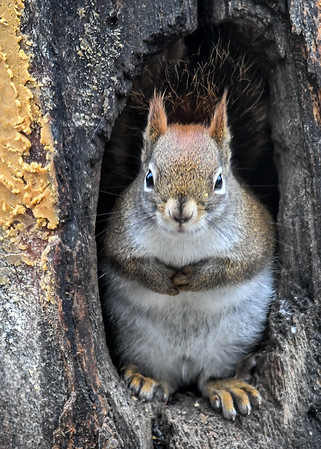 """<div class=""""jaDesc""""> <h4>Red Squirrel in Tree Trunk - January 7, 2019 </h4>I toss seed and peanuts into this old Pileated Woodpecker hole in a section of tree trunk I saved when getting firewood.  The squirrels like to sit in them where they feel protected, but can watch all the activity around them. </div>"""