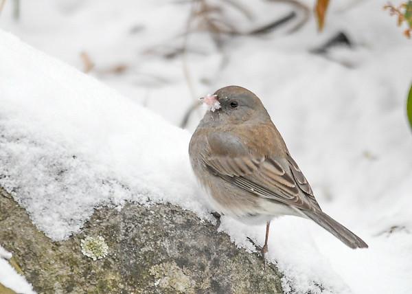 "<div class=""jaDesc""> <h4>Junco - Snow on Beak - January 18, 2018</h4> <p>Pecking for seeds in the snow.</p></div>"