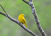 """<div class=""""jaDesc""""> <h4>Male Yellow Warbler Over the Shoulder Look - May 8, 2018</h4> <p></p></div>"""